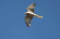 Sparrowhawk - Accipiter nisus