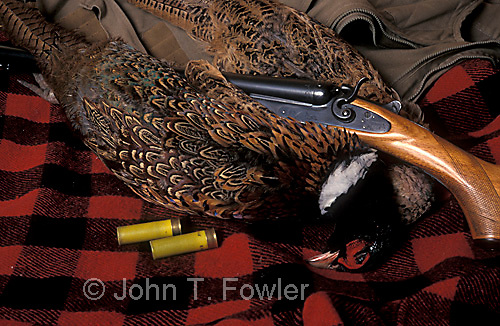 Classic shotgun with ring-necked pheasants