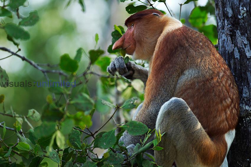 Proboscis Monkey mature male sitting in a tree feeding on leaves (Nasalis larvatus), Bako National Park, Sarawak, Borneo, Malaysia.