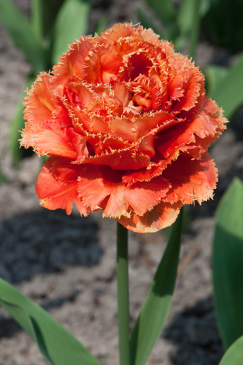Tulip 'Sensual Touch' (Fringed Group), late April. A new double fringed variety first introduced in 2008.