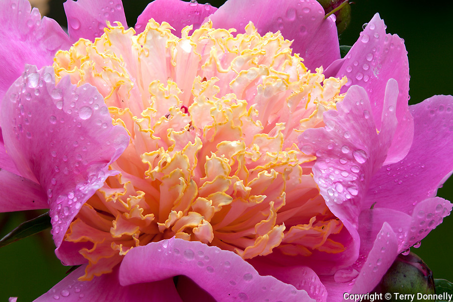 Vashon Island, WA<br /> Pink peony (Paeonia spp.) with yellow center