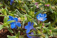 Lithodora diffusa Grace Ward in blue flowers, closeup macro plant portrait