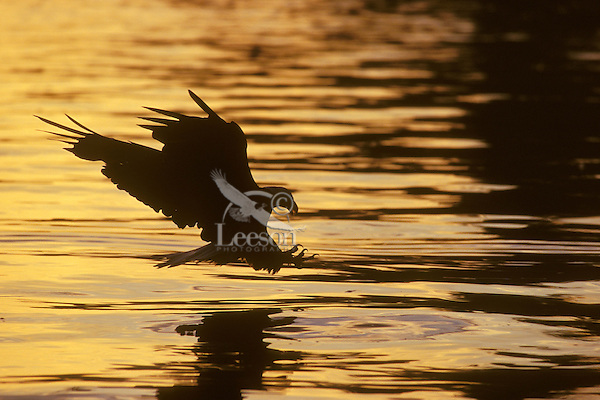 Bald eagle (Haliaeetus leucocephalus) fishing at sunset.  Pacific Northwest.