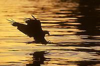 Bald eagle (Haliaeetus leucocephalus) fishing at sunset.  Pacific Northwest.