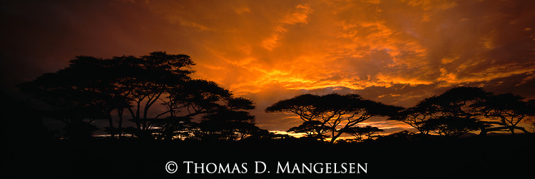 A sunrise acacia tree silhouette along the horizon in Serengeti National Park, Tanzania.