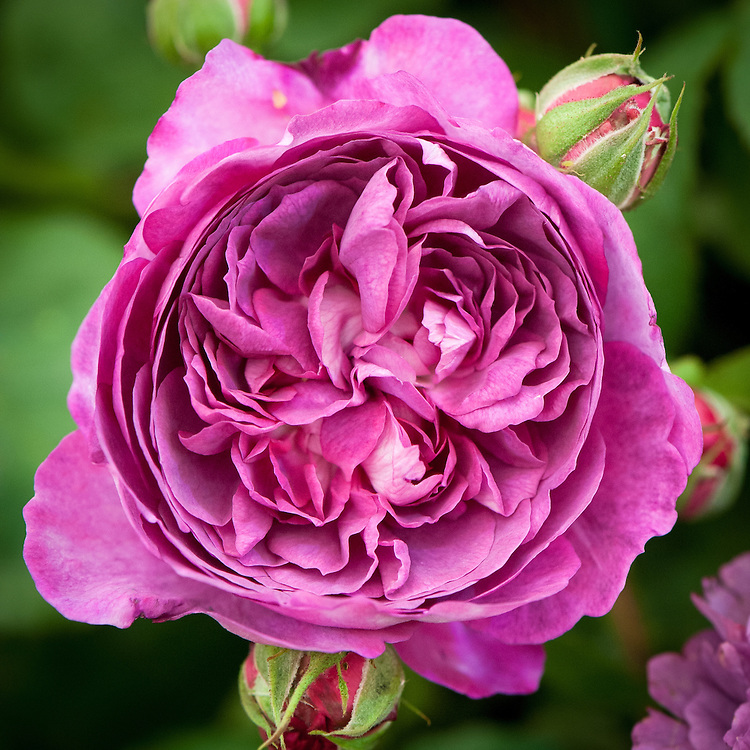 Rosa 'Reine des Violettes', early July. An old Hybrid Perpetual rose whose flowers usually starts off rich purple then fade to lilac-mauve. The petals are pale silvery pink on the undersides. Originally bred in France, 1860.