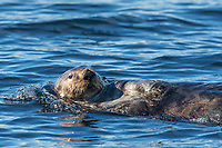 On our final afternoon, we had a nice close encounter with this lone sea otter.