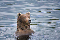 Adult female brown bear in the Brooks River, Katmai National Park, southwest, Alaska.