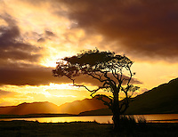 Myrtle tree at dawn Connemara National Park, Republic of Ireland County Galway Sept. Fiords near Kylemore  Abbey