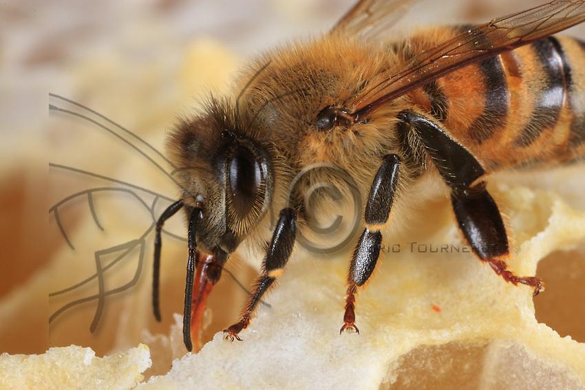 A bee sucking up honey.