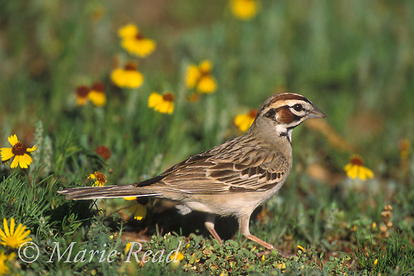 Lark Sparrow (Chondestes grammacus) adult, foraging amid prairie flowers, Wichita Mountain National Wildlife Refuge, Oklahoma, USA<br /> Slide # B164-1501