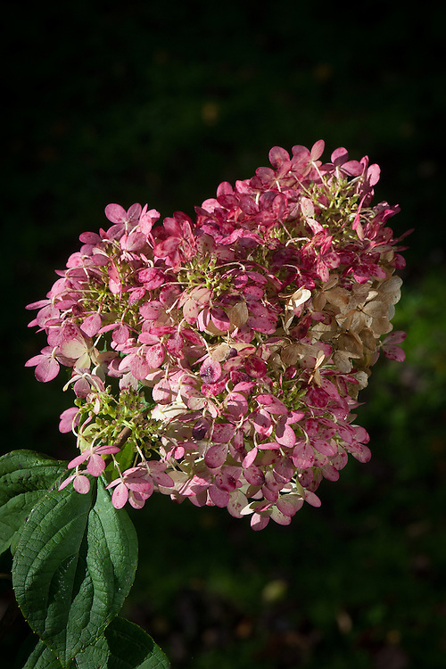 Hydrangea paniculata 'Limelight', late October. Late in the season, the white flower heads take on a flush of pink.