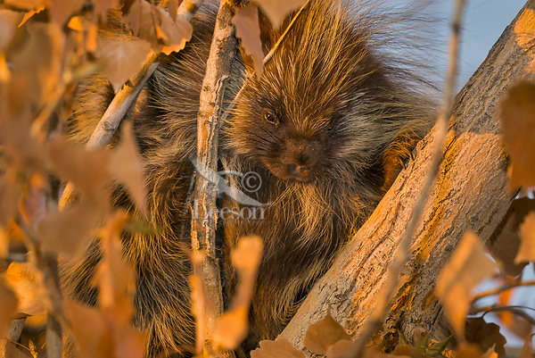 Young North American porcupine (Erethizon dorsatum)--also known as the Canadian porcupine or common porcupine up in tree in late evening light.  Western U.S., late fall.