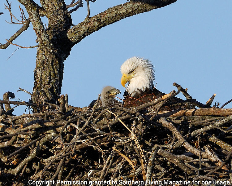 Adult Bald Eagle in nest with eaglet near Llano, TX.  23 days old eaglet.