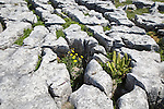 Plants growing in limestone pavement Malham, Yorkshire Dales national park, England, UK