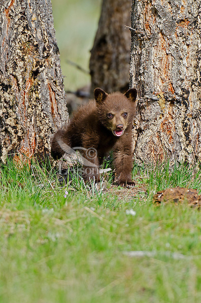 "Wild Black Bear (Ursus americanus) cub.  Western U.S., spring. (This is what is known as a ""coy""--cub of the year.)  Cinnamon color phase."