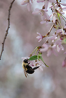 Bumble Bee insect on cherry blossom Prunus in spring flower, Bombus sp.