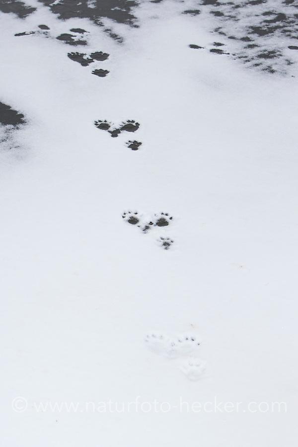 Europäischer Fischotter, Fisch-Otter, Otter, Spur, Fährte, Trittsiegel im Winter bei Schnee und Eis, Lutra lutra, river otter, European otter, track