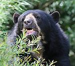 08.06.2011,Tiergarten Schoennbrunn, Wien, AUT, Chronik, im Bild Brillenbaer // andean bear, chronicle, AUT, Vienna, zoological garden Schoennbrunn, 2011-08-06, EXPA Pictures © 2011, PhotoCredit: EXPA/ M. Gruber
