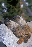 Marmot sunning on rock, Mt. Rainier National PArk, Washington