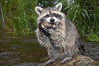 """Waschbär, etwa 4 Monate altes Jungtier sammelt erste Erfahrungen mit dem Element Wasser, spielt mit einer Muschelschale, Tierkind, Tierbaby, Tierbabies, Männchen, Rüde, Waschbaer, Wasch-Bär, Procyon lotor, Raccoon, Raton laveur, """"Frodo"""""""