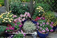 63821-18306 Petunias, Butterfly Argyranthemum frutescens, Red Pentas, Diamond Frost Spurge, Dakota Gold Helenium  & Dianthus  IL