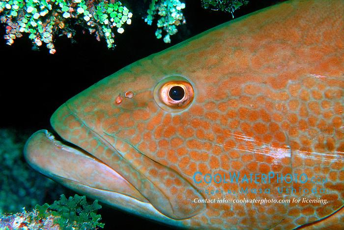 black grouper, Mycteroperca .bonaci, City of Washington wreck, .Key Largo, Florida Keys National .Marine Sanctuary (Atlantic).