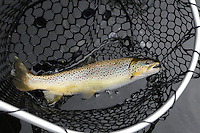 STAFF PHOTO FLIP PUTTHOFF <br /> This brown trout bit a midge       Oct. 30 2014       fished near the bottom.