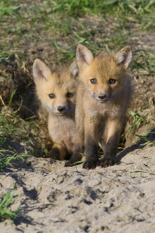 Pair of Red Fox kits standing just outside their den
