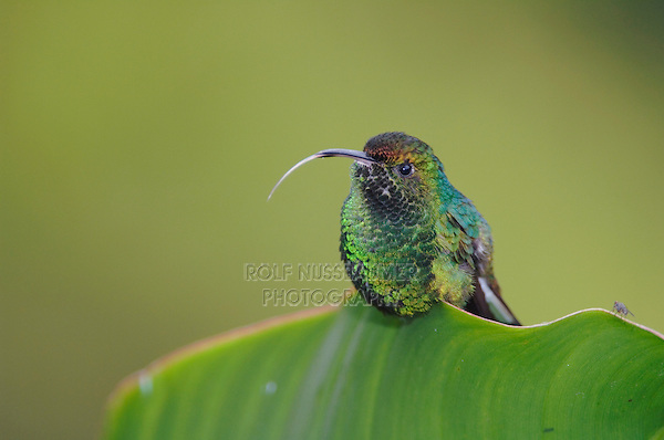 Coppery-headed Emerald, Elvira cupreiceps, male perched on banana leaf, Central Valley, Costa Rica, Central America