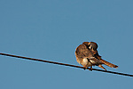 A kestrel preens as it rests on a wire.