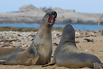 Elephant seal juvenile males play fight