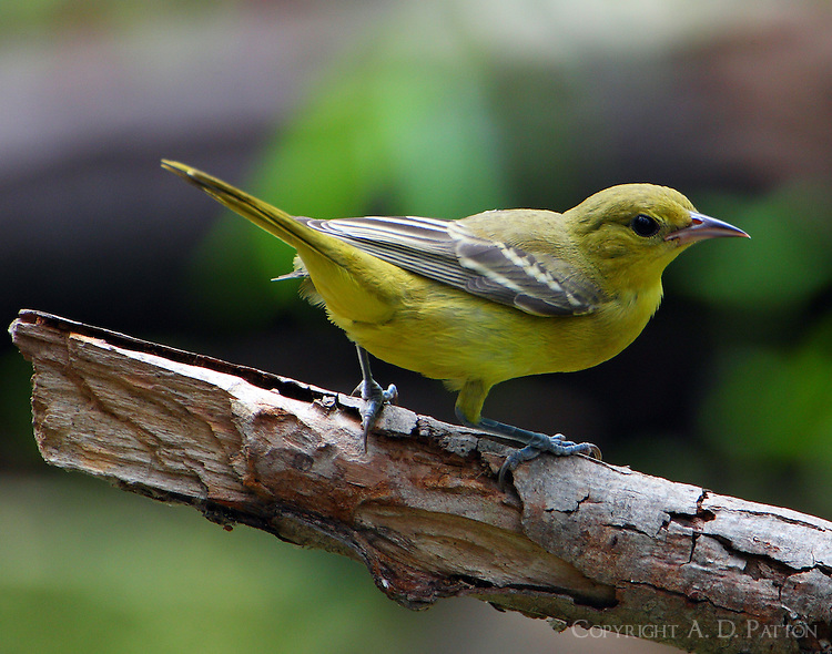 Female orchard oriole
