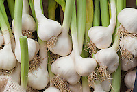 Garlic Picardy Wight white fresh bulbs with green stems and brown roots just harvested