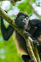 Mantled Howler monkey in a tree, Tortuguero, Costa Rica, Central America.