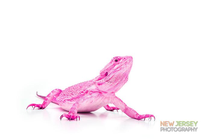 Pink Bearded Dragon, Pogona vitticeps