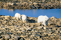 polar bears, Ursus maritimus, mother and first year cubs, Churchill, Manitoba, Canada, Arctic, polar bear, Ursus maritimus