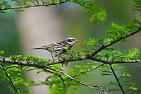 Yellow-rumped Warbler (Dendroica coronata) male rests in mixed forest along Lake Erie shoreline near Canada and USA border during annual spring migration northward to summer breeding grounds. Some 63% of all Yellow-rumped warblers nest in Canada's boreal forest..