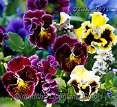 Gisela, FLOWERS, BLUMEN, FLORES, photos+++++,DTGK2471,#f#, EVERYDAY
