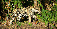 Jaguar (Panthera onça) prowls the river bank, headed into deep cover, The Pantanal, Brazil.