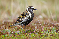 Male Pacific Golden-Plover (Pluvialis fulva). Chukotka, Russia. July.