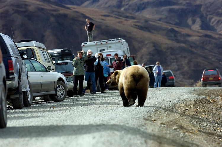 A grizzly bear walks past awe-struck road permit lottery winners on Denali Park Road on Sept. 15, 2006. The park service briefs each permit holder on regulations designed to keep wildlife wild and visitors safe.