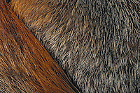 Gray Fox fur detail. The only North American.canid with true climbing ability..Florida. (Urocyon cinereoagenteus).