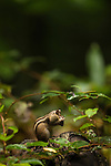 Siberian chipmunks can only be found on Hokkaido in Japan. They are a remnant of when Hokkaido used to be connected to the Russian subcontinent during the last ice age. Because Hokkaido sees stark seasons similar to Siberia, the chipmunks have to undergo their ritual of collecting leaves and acorns to store as they hibernate over winter. This individual is a young one, probably hibernating on its own for the first year.