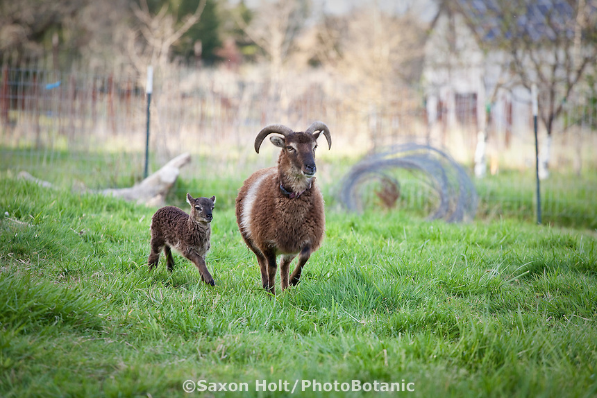 Soay sheep (Ovis aries), mother and lamb running in pasture at Singing Frogs Farm
