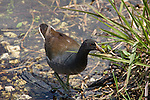 The gallinule, or Florida moorhen, can be seen close to the shorelines in the Everglades and marsh waterways.
