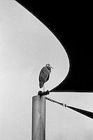 Great Blue Heron, 35mm Film
