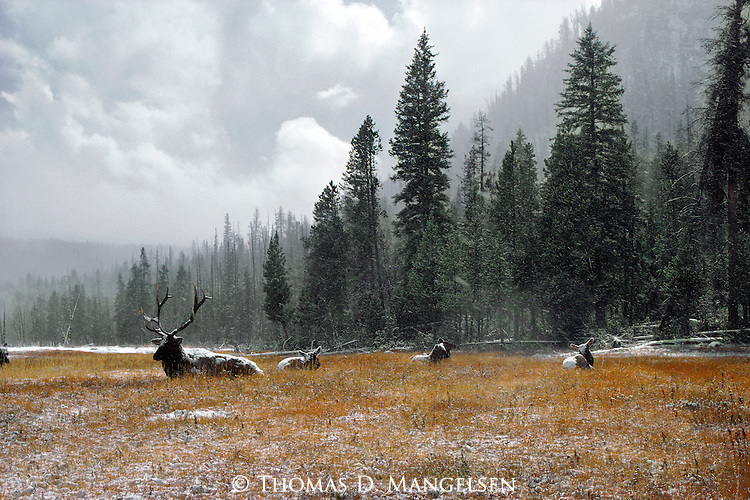 Elk wait out a storm in Yellowstone National Park, Wyoming.