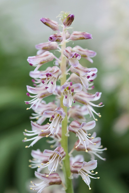 Lachenalia bowkeri, glasshouse, early March. Originallly from Cape Province, South Africa.