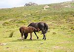 Foal and mare Dartmoor ponies, Dartmoor national park, Devon, England